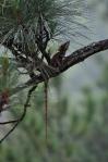 Basilisk Lizard (or Jesus Christ Lizard)
