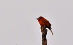 Hepatic Tanager (Wish all birds would pose like this.)