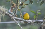 Gray-headed Tanager (I have to say, I adore this photo.)