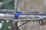 Red-legged Honeycreeper (LOVE this guy! Looks kind of grumpy.)