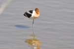 I was convinced this American Avocet was ignoring my camera and then I realized he was just sleeping.