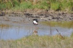 Black-necked Stilts mating