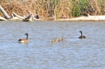 I always admire how Canada Geese are very good parents and flank their young on each side. (Canada Geese and Goslings)