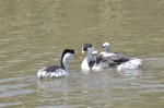 Family of Clark's Grebes with babies on back and male bringing a little fish.