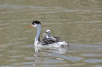 Three little fellas on mama's back (Clark's Grebes)