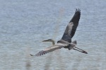 Great Blue Heron (Not the best shot.  If only that grass hadn't been in the way.)