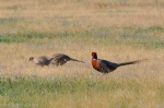 We saw loads of Ring-necked Pheasants today