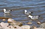 California Gulls joining the feast (Utah State bird)