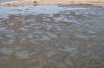 Brine Flies congregate in huge mats feasting on the algae. (click to enlarge)