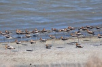 Resting American Avocets