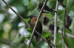 Rufous-breasted Wren