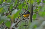 Slaty-throated Redstart