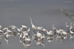 Common Egret and Snowy Egrets