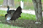 Ocellated Turkey displaying