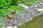 Gray-necked Wood-rails