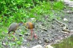 Gray-necked Wood-rails preening