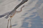 Great Blue Heron (There is something lovely about this shot--sort of looks like a watercolor painting.)