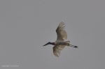 Jabiru Stork in flight