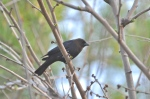 I get it that the Brown-headed Cowbird is a nest parasite.  But I love, love, love the gulp-gulp-gleeee song.  It's so interesting.  Fortunately, we don't get many Cowbirds in the backyard.