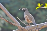 The California Quail are some of the most interesting birds to watch in our backyard.