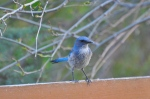 "We like to call this Scrub Jay ""Blue."" Actually, our neighbors came up with the name. Loves peanuts!"