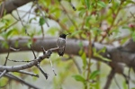 "Black-chinned Hummingbird (This is ""Harry"")"
