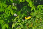 I was so excited when I spotted this Western Tanager as I was looking out our laundry room window. He was flitting about in the trees across the irrigation canal behind our house. It's the only time I've seen him. (It's hard when you're at the office all day.)