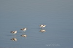 American Avocets sporting their winter outfits