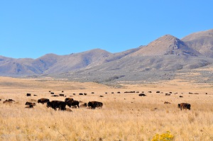 About 750 head of buffalo roam Antelope Island