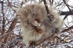Yes, the porcupine looks cuddly, but don't kid yourself.
