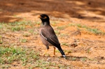Common Mynah (an introduced species)