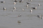 A Bonaparte's Gull among a flock of California Gulls.