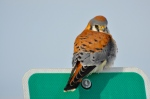Surprised this American Kestrel we saw on the causeway allowed us to get this close.