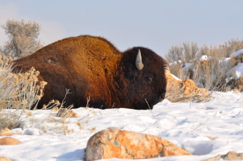 One of the many buffalo lays atop a blanket of snow.