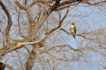 At Garr Ranch on the island, Steve spots this sub species of the Red-tailed Hawk. It's either Harlan's Hawk or a Krider's Hawk, we think. Uncommon for this area.