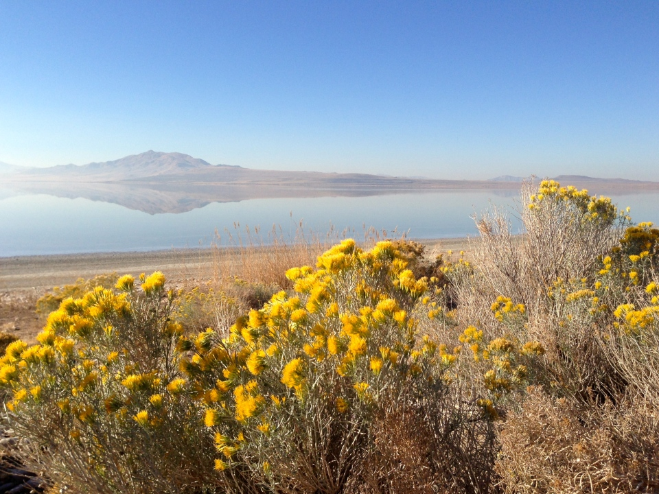 Salt Bush or Salt Grass at Antelope Island