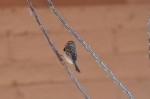Chipping Sparrow 6