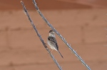 Chipping Sparrow 5