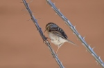 Chipping Sparrow 4