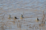More butts up in the air (Green-winged Teals)