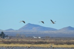 Sandhill Cranes over Whitewater Draw