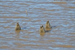 Butts up in the air! (Think these are Green-winged Teals)