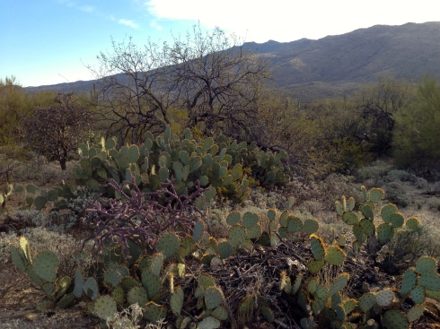 The beautiful Sonoran desert.
