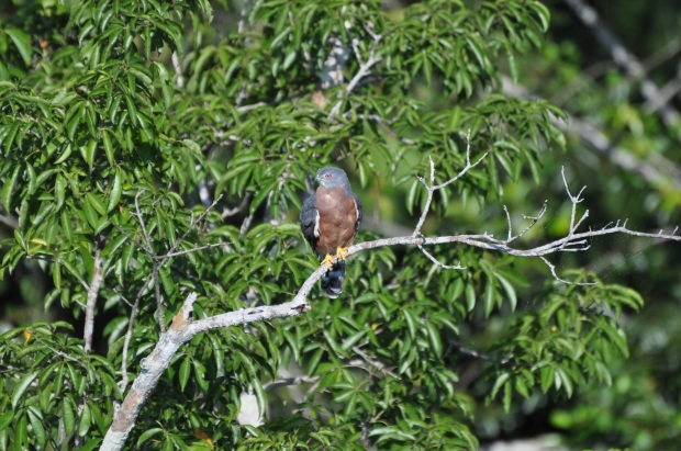 Double-toothed Snail Kite