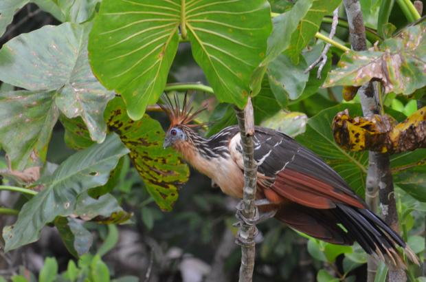 "Say ""hello"" to the Hoatzin."