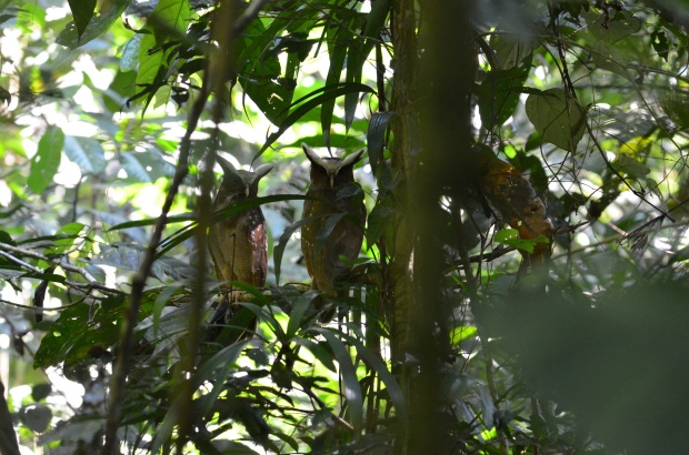A pair of Crested Owls in Ecuador Amazon