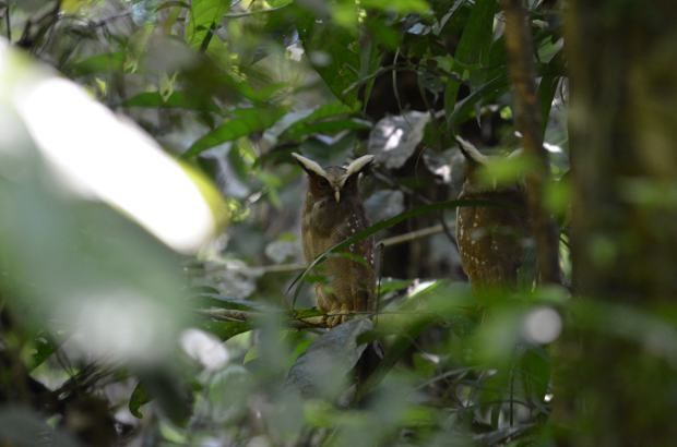 Male Crested Owl