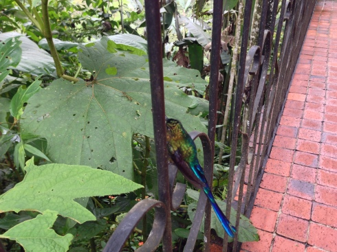 Injured Violet-tailed Sylth on the railing