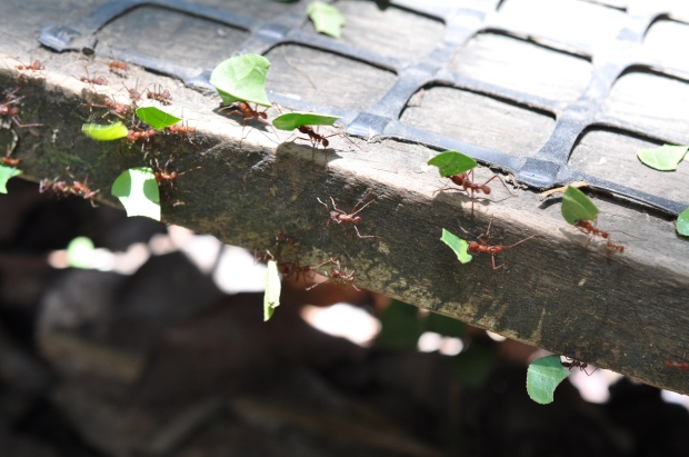 Leaf cutter ants were always on this step from sun up to sun down. (Could they have not gone under the step?)