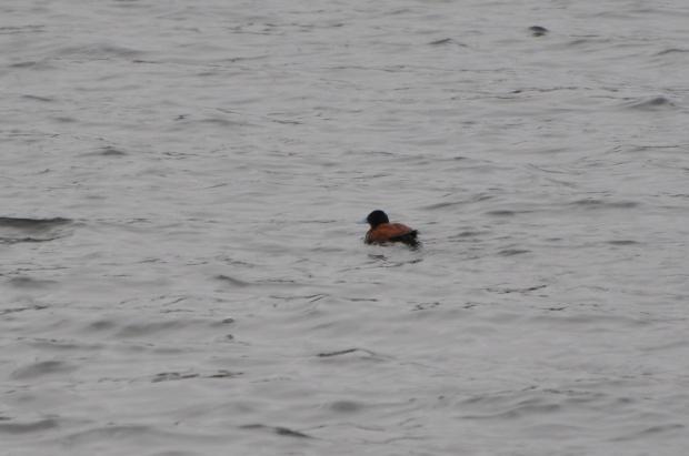 Andean Ruddy-duck